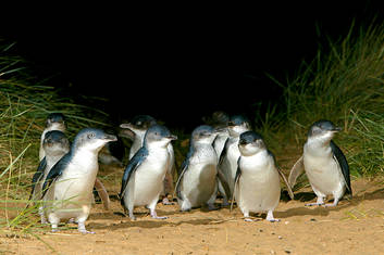 Little Penguins arriving in the nightly Penguin Parade