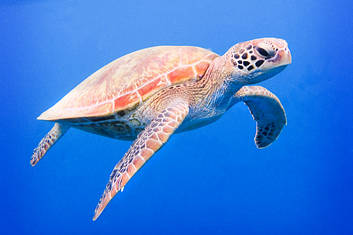 Sea Turtle in the deep blue of the Coral Sea.